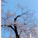 婚活サロンの前の幼稚園で、桜がこんなに咲き始めていました♫