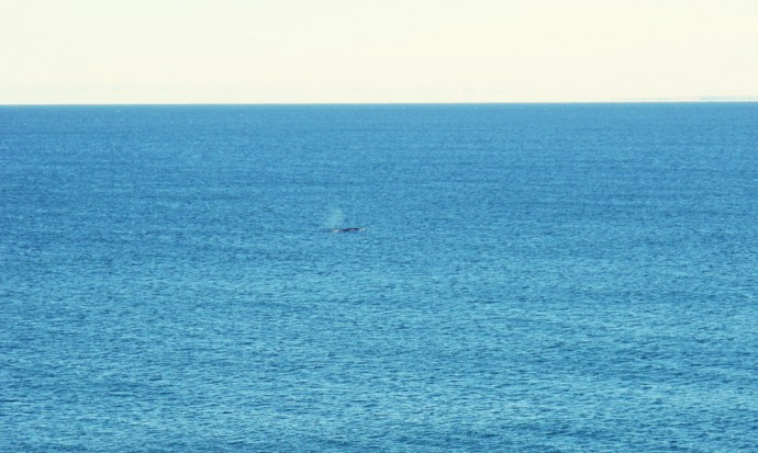 A distant whale off the coast of Puerto Madryn