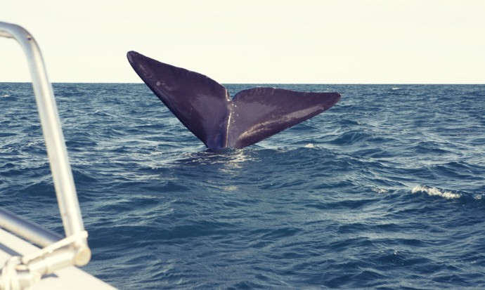 A whale dives right next to our boat