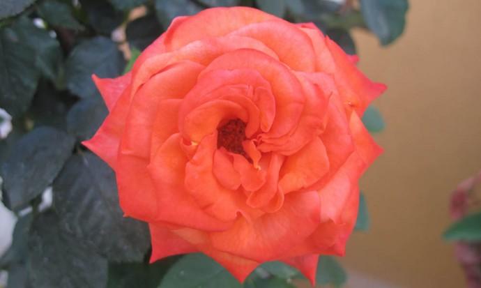 Hyper orange rose