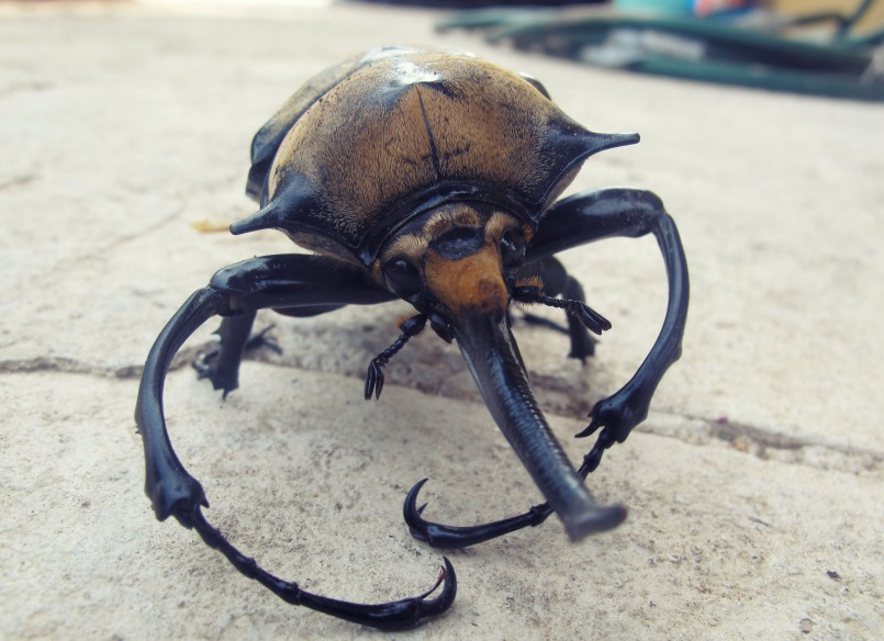 Rhino beetle in San Pancho, Mexico
