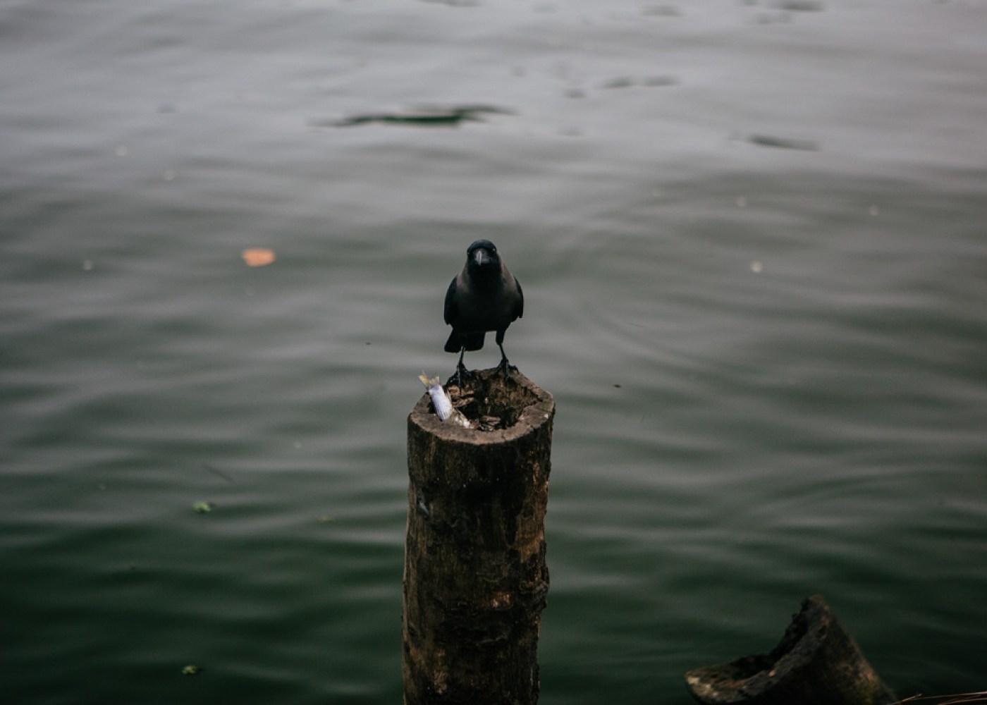 Crow in Kerala