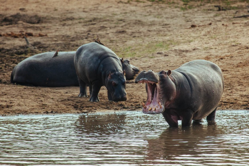 Hippo opening mouth in South Africa