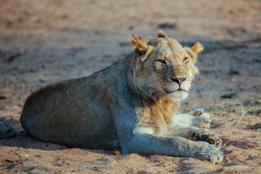 Lion with mohawk, South Africa