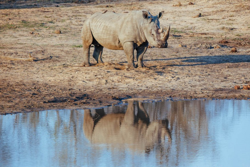 Rhino refelected in the water at Makanyi