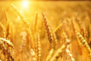 wheat, grain, cornfield