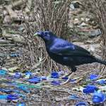bowerbird - attracting keeping good people