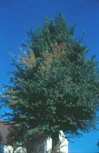 diseased elm