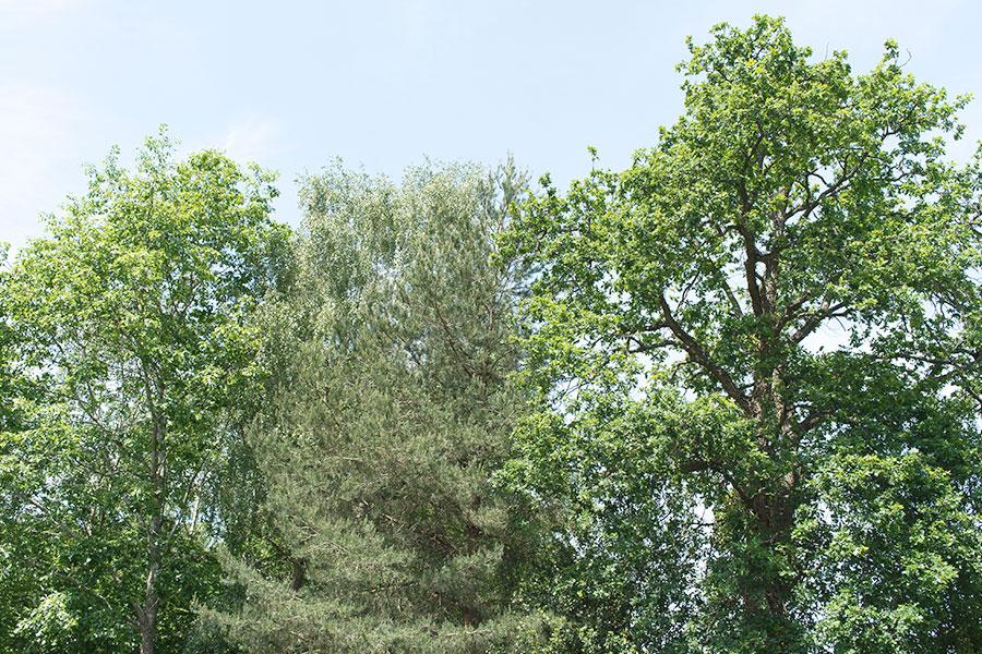 tree nopola