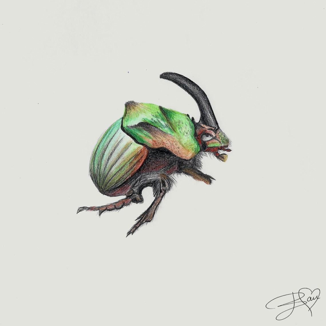 Rhinoceros Beetles Neushoornkever