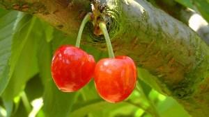 cherries-178148_640