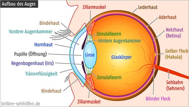 https://i2.wp.com/www.brillen-sehhilfen.de/auge/images/aufbau-des-auges-me.jpg