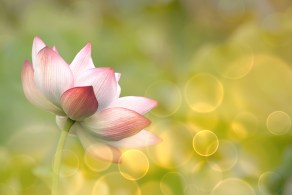 bigstock-Lotus-flowers-in-garden-under--41871190