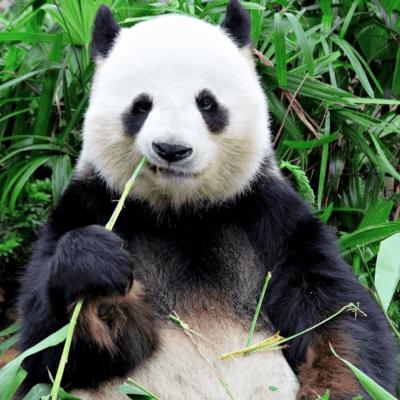 Foto von bambusliebe Panda
