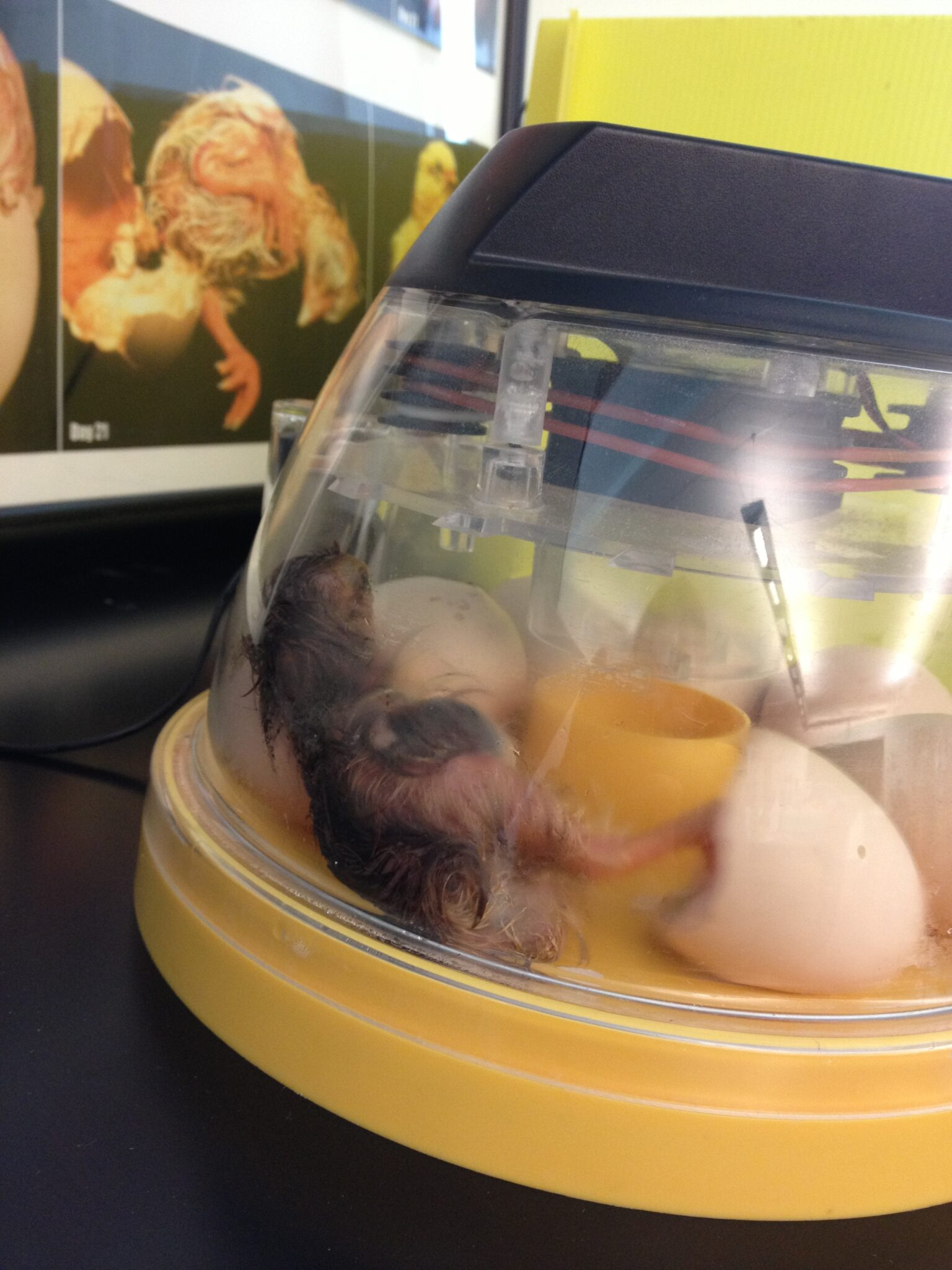 Chick Hatching Bring The Farm To You