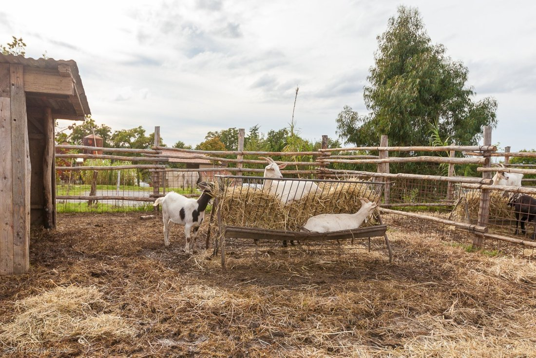 2016-podere-il-casale-pienza-12-goats