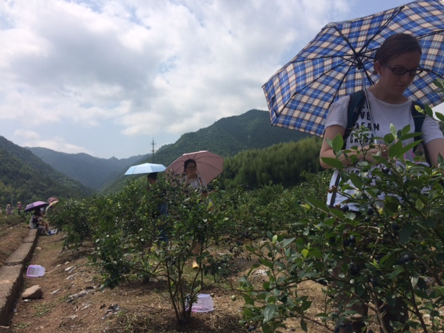 Blueberry picking in Xuxi