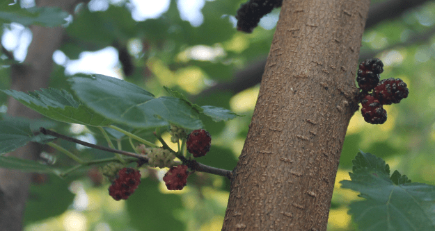 Mulberries from britinthesouth.com