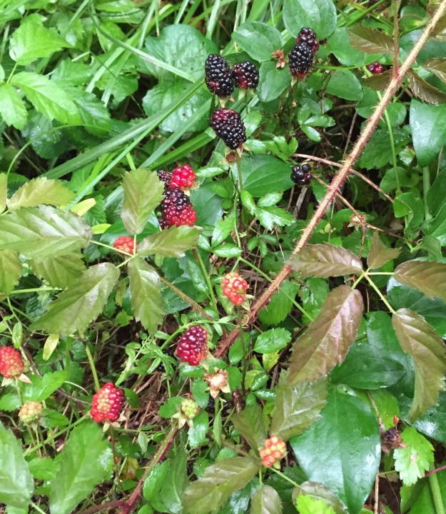 Blackberries from britinthesouth.com