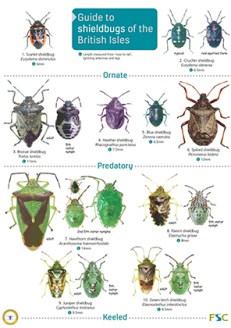 OP85-Shieldbugs