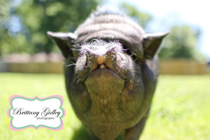 Potbelly Pig | Brittany Gidley Photography LLC