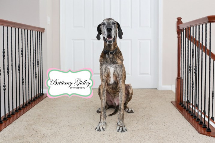 Great Dane | Brittany Gidley Photography LLC