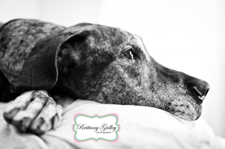 Great Dane Joy Session | Brittany Gidley Photography LLC