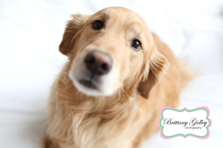 Pet Photography | Golden Retriever | Brittany Gidley Photography LLC