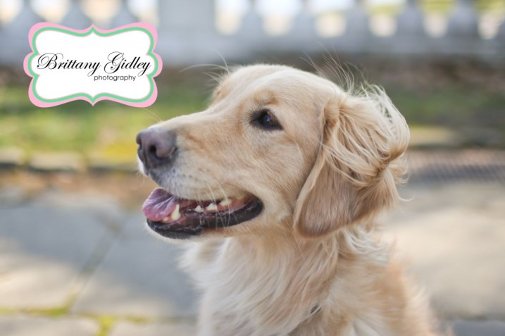 Golden Retreiver | Brittany Gidley Photography LLC