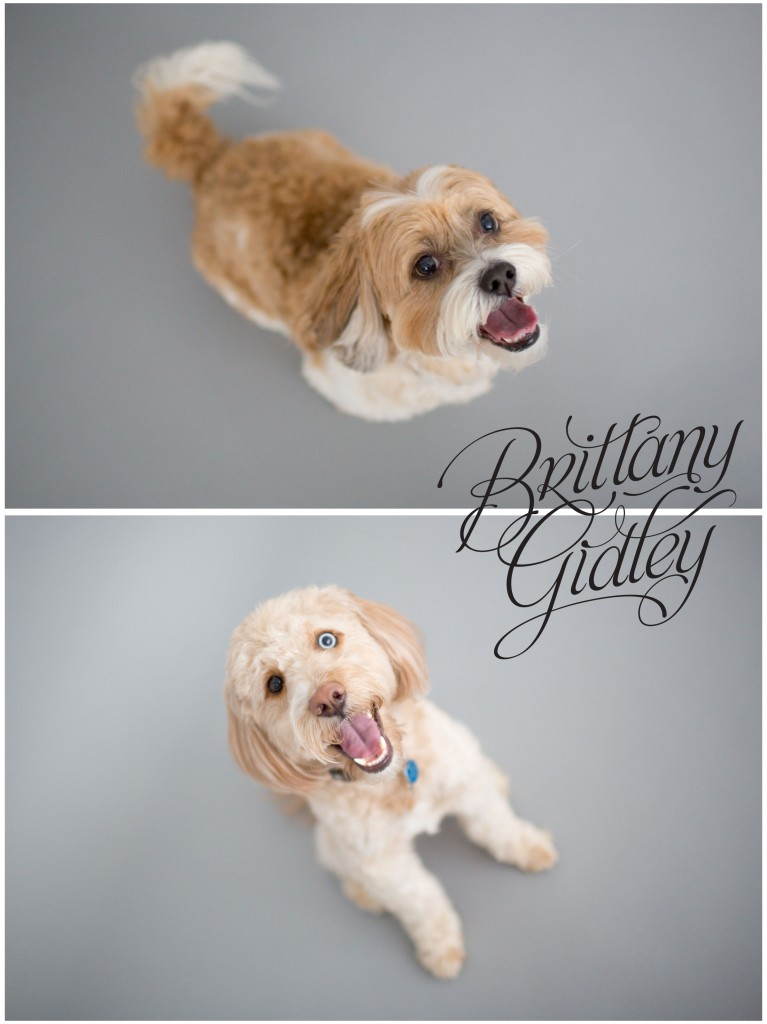 Dog | Pet Photography | Seamless Paper | Cleveland | Brittany Gidley Photography LLC