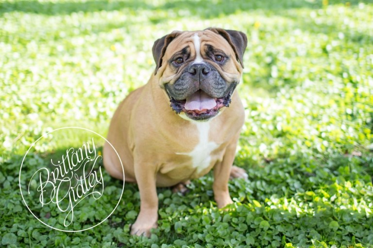 Bulldog | FurBabies | Pet Photographer | Pet Photography | Cleveland | Ohio | Brittany Gidley Photography LLC | Start With The Best