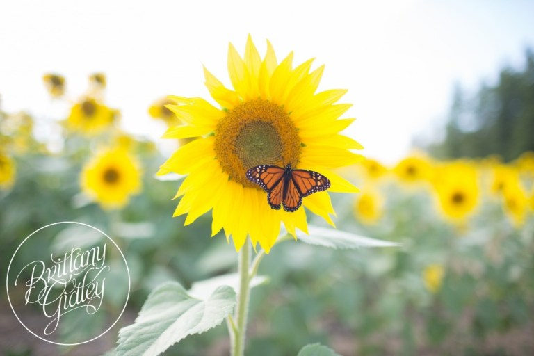 Prayers From Maria Sunflower Field | Butterflies | Cleveland, Ohio | Avon, Ohio | Photographer