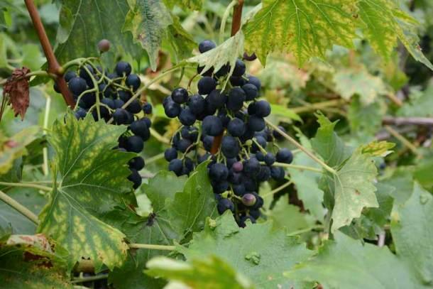 grapes_750_dsc_1599