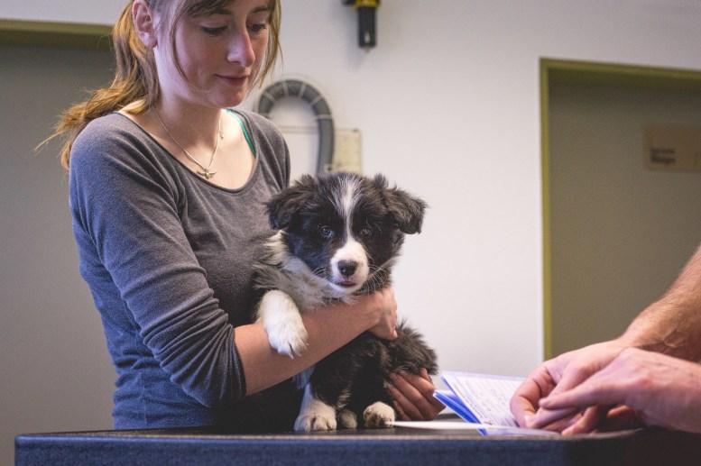 12|04|2017 – Gechippt: Tierarztbesuch mit unseren fünf Border Collie Welpen