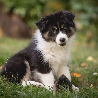 9 Wochen alter Border Collie Welpe