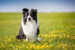 Border Collie Rüde auf einer Sommerwiese