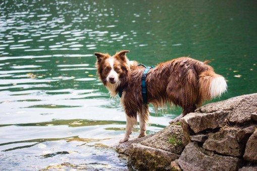 Braune Border Collie Hündin am See
