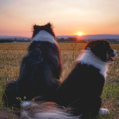 Border Collies bei Sonnenuntergang