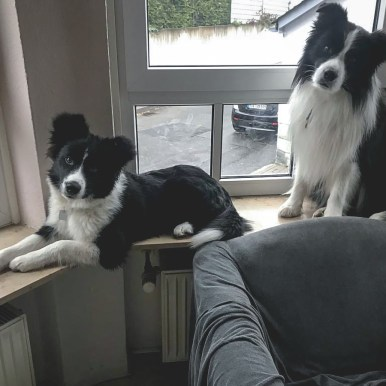 Broadmeadows Border Collies