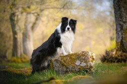 Border Collie im Westerwald