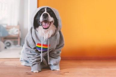 Border Collie mit Pride-Pullover