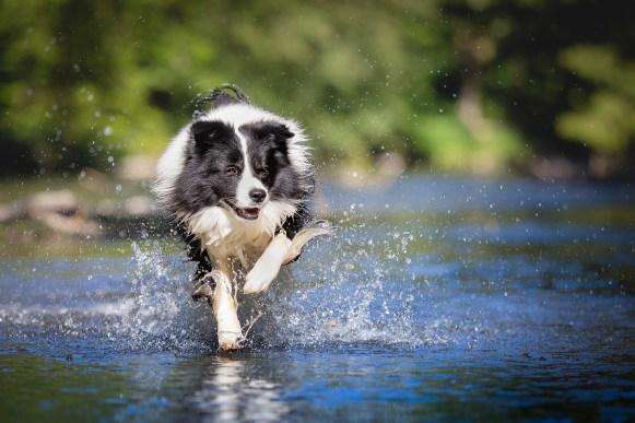 Border Collie beim Schwimmen