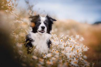 Border Collie im sommerlichen Feld