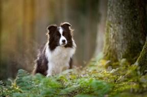 Border Collie im Wald
