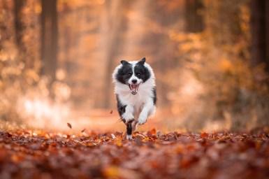 Border Collie rennt durch herbstlichen Wald
