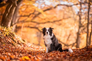 Border Collie Hündin