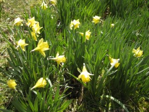 Wordsworth daffodils brockstone