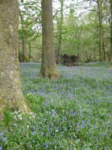 Bluebell wood near Brockstone