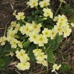 april primroses