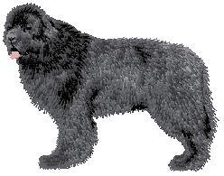 Hundbrodyr Newfoundlandshund stående